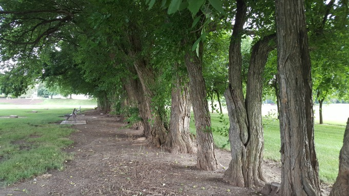 A row of Osage orange trees border the Field of Corn in Dublin.