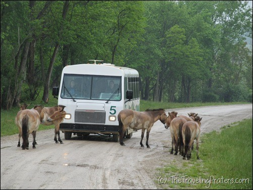 Przewalski's Wild Horses block the road at The Wilds