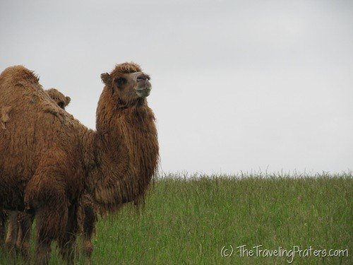 Camel at the Wilds in Cumberland, Ohio