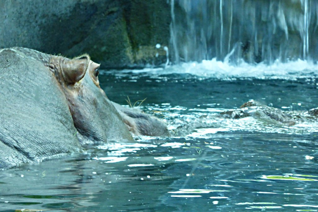 Hippos in the Hippoquarium at the Toledo Zoo