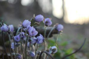 Spring wildflowers at Malabar Farm State Park near Mansfield, Ohio.