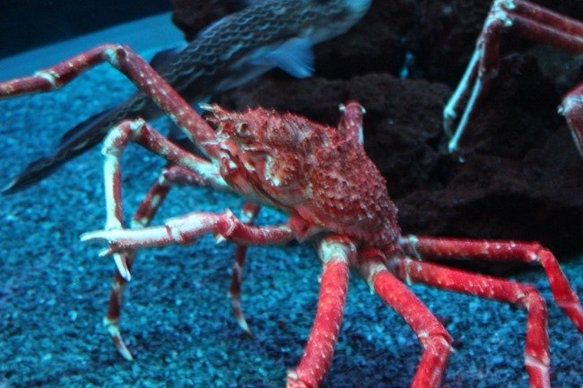 Giant Japanese Spider Crab at Ripley's Aquarium of the Smokies