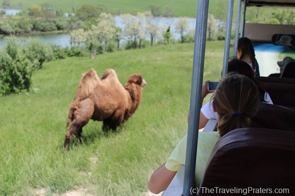 Bactrain Camel at The Wilds