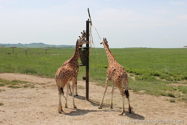 Giraffes at The Wilds