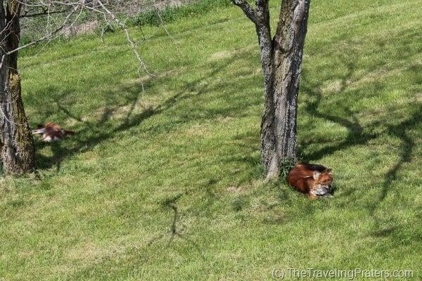 The Wilds Fox