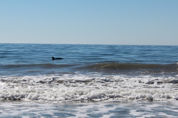 Dolphins at El Capitan State Beach in California