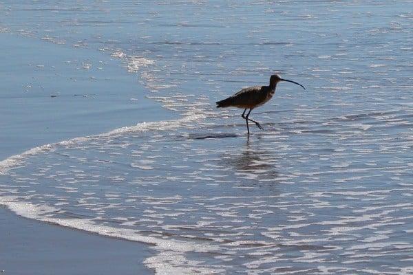 Birding on El Capitan State Beach
