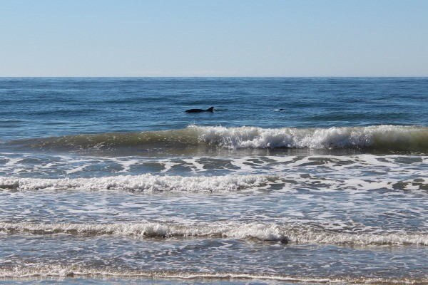 Dophin Sighting at El Capitan State Beach