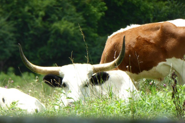 Longhorns at Pursell Farms