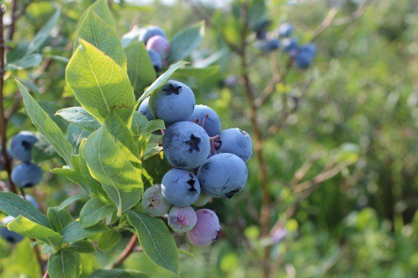Blueberries at the Blueberry Patch in Mansfield, Ohio
