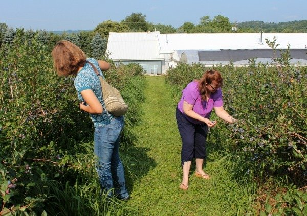 Picking Blueberries at the Blueberry Patch in Mansfield, OH