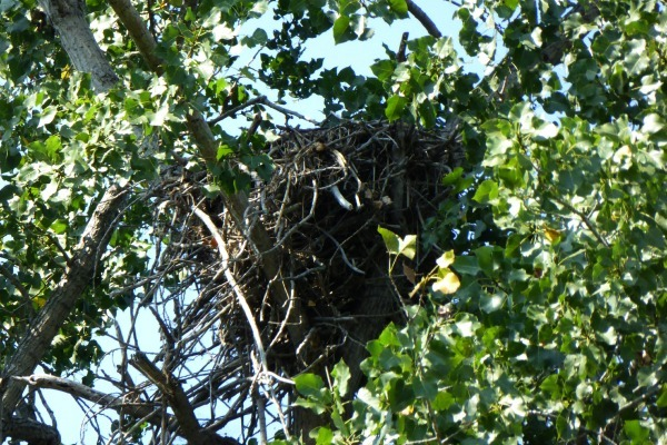 An eagles nest at Magee Marsh near Maumee Bay State Park Lodge near Toledo
