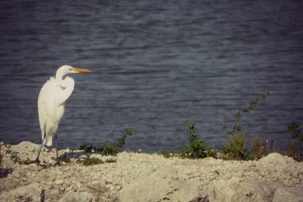 Egret at Maumee Bay State Park