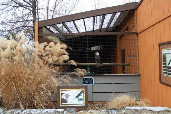 Bald Eagle at the Raptor Center in LaGrange, Ohio