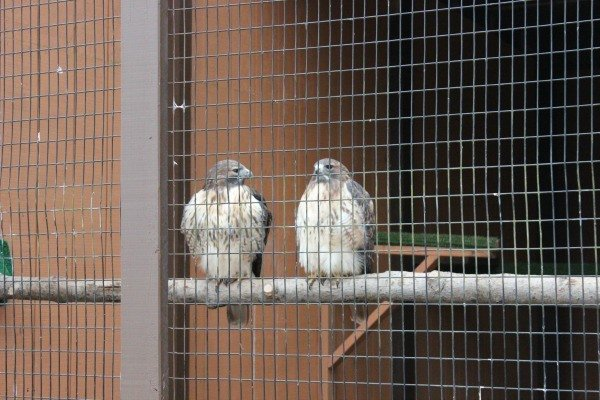 Red-Tailed Hawks in the Raptor Center in LaGrange, Ohio home of the World's Largest Eagle's Nest Replica
