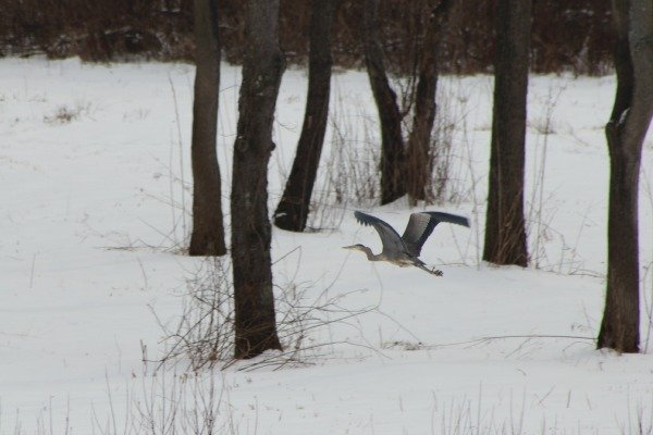 The Heron flying in the winter