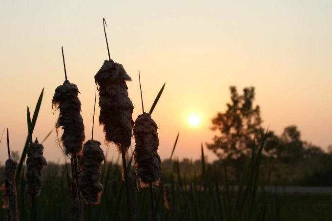 Cattails in the sunrise at Deer Creek State Park.