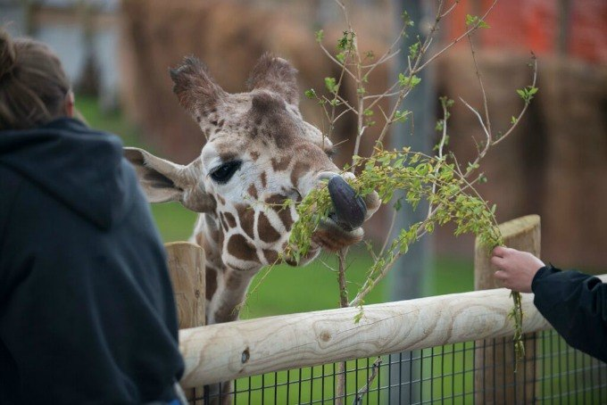 Hand Feed Giraffes at Columbus Zoo and Aquarium with the Roar and Explore Adventure Getaway.