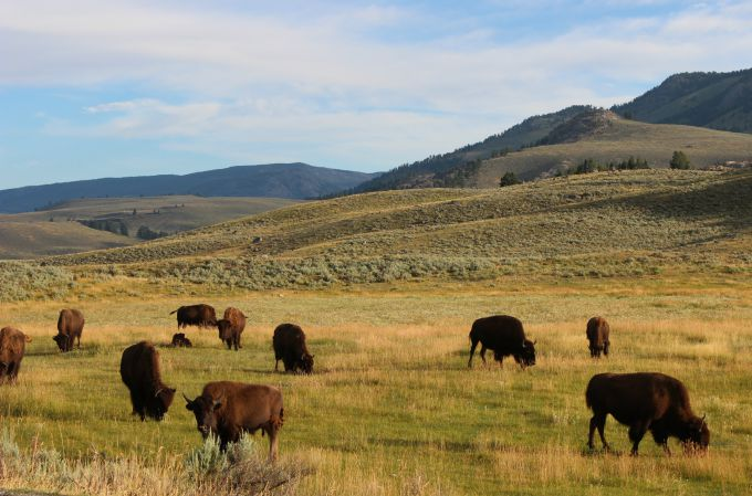 Watching the grazing bison in Yellowstone National Park.