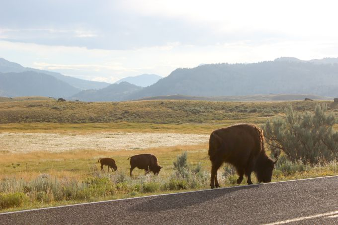 Things to do in Yellowstone- Take an early morning drive through Lamar Valley to spot wildlife like these bison.