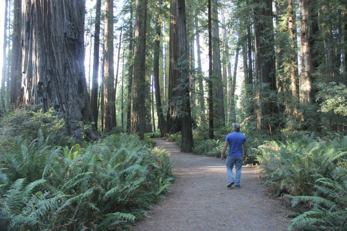 Walking among the Redwoods on the Stout Grove trail in California.
