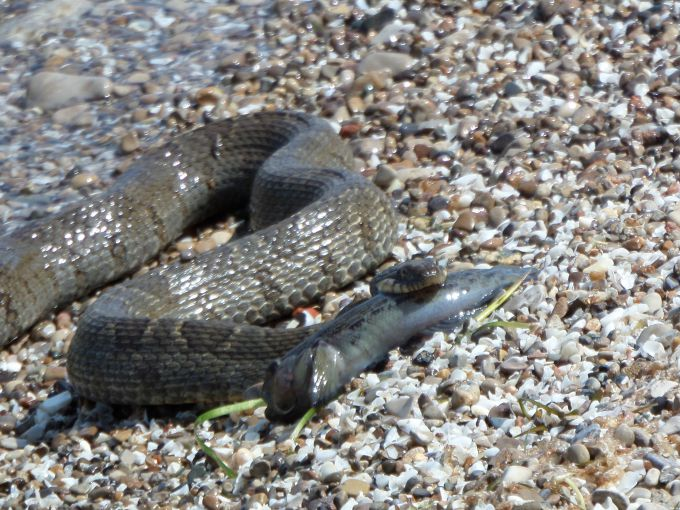 Watersnakes are commonly found on South Bass Island and OSU students tag snakes at the research facility on nearby Gibraltar Island.