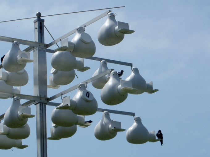 Purple Martins are plentiful during the spring at Scheef  East Point Nature Preserve.