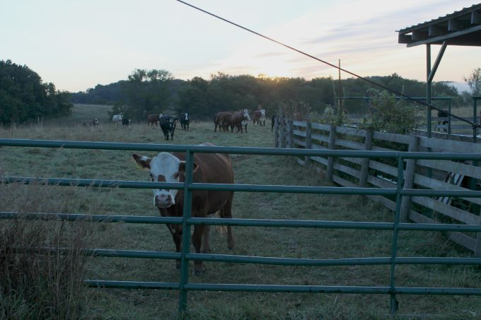 The cattle slowly approached the gate at Mt. Jeez.