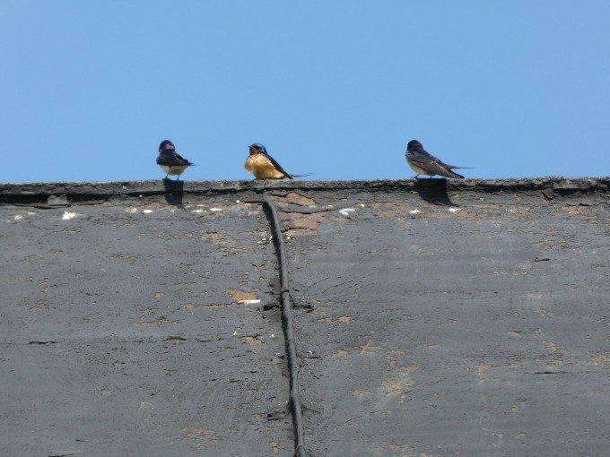 Barn with birds 2