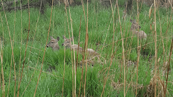 Deer resting along the trail at Maumee Bay State park