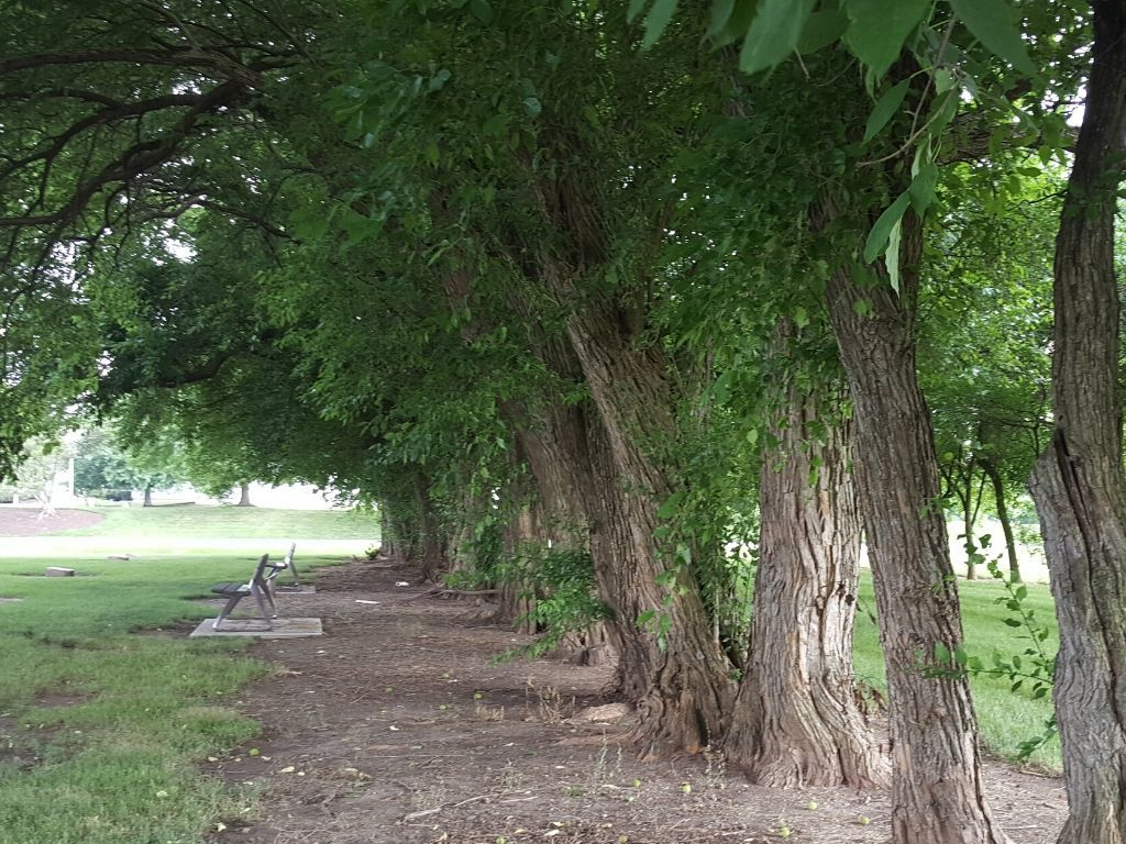 Row of Osage Orange Trees