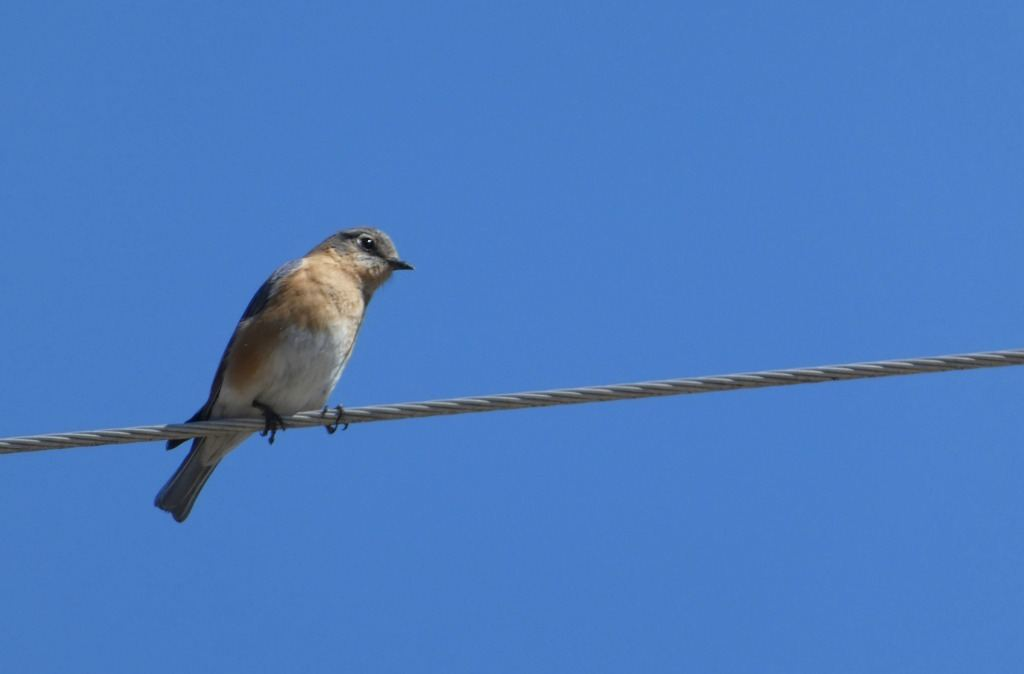 I was bird watching at Carvers Creek State Park in Fayetteville, North Carolina when I spotted this brownish/golden bird on a wire overhead.