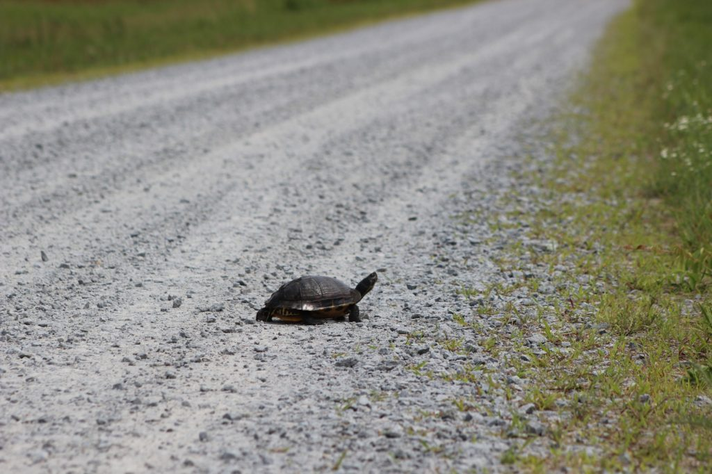 A turtle crossing the road at the Alligator River National Wildlife Refuge in North Carolina