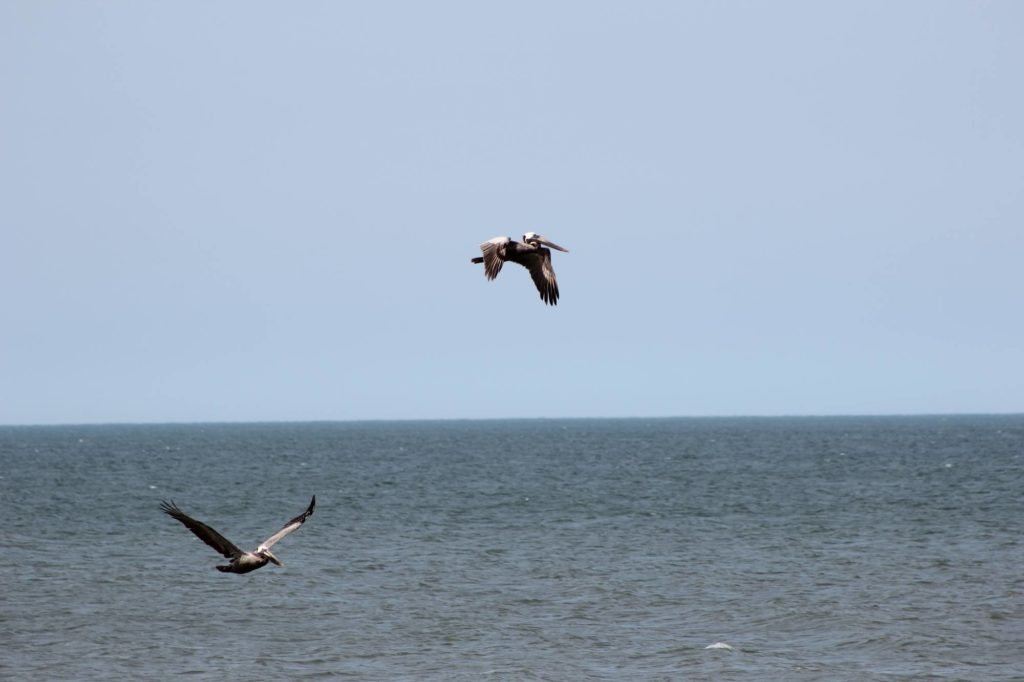 Pelicans in the Outer Banks.