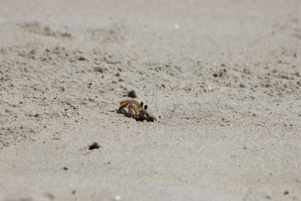A ghost crab spotted while exploring Cape hatteras National Seashore.