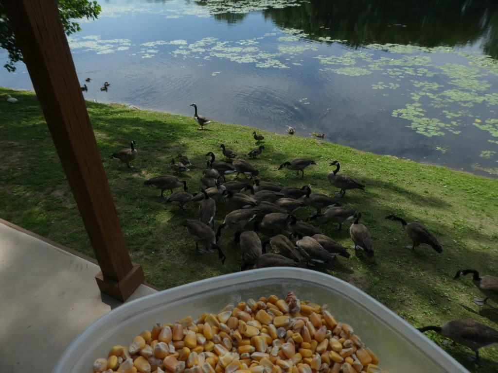 Feeding the ducks at Serenity Springs.