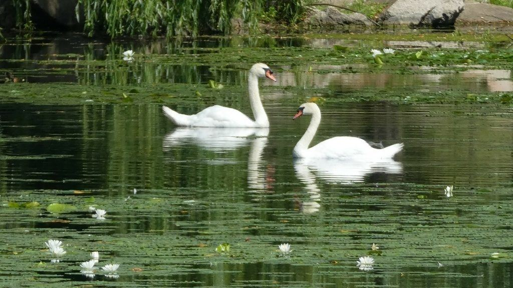 Swans at Serenity Springs