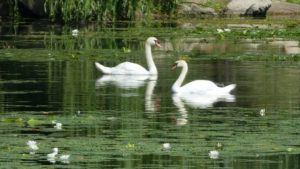 Swans at Serenity Springs