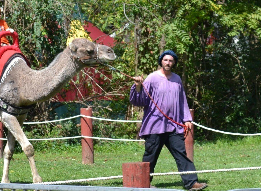 Camels at the Renaissance Faire