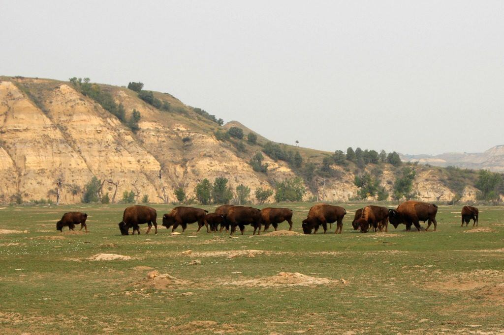 Bison grazing in the Badlands of North Dakota