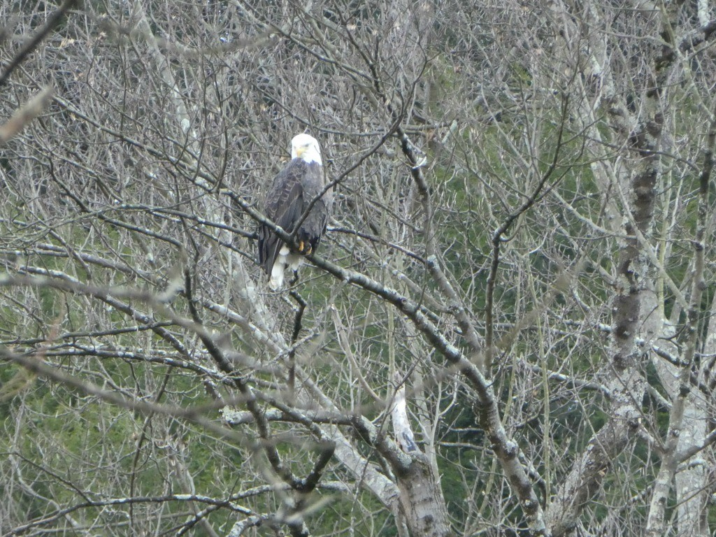A bald eagle spotted at Mohican State Park.
