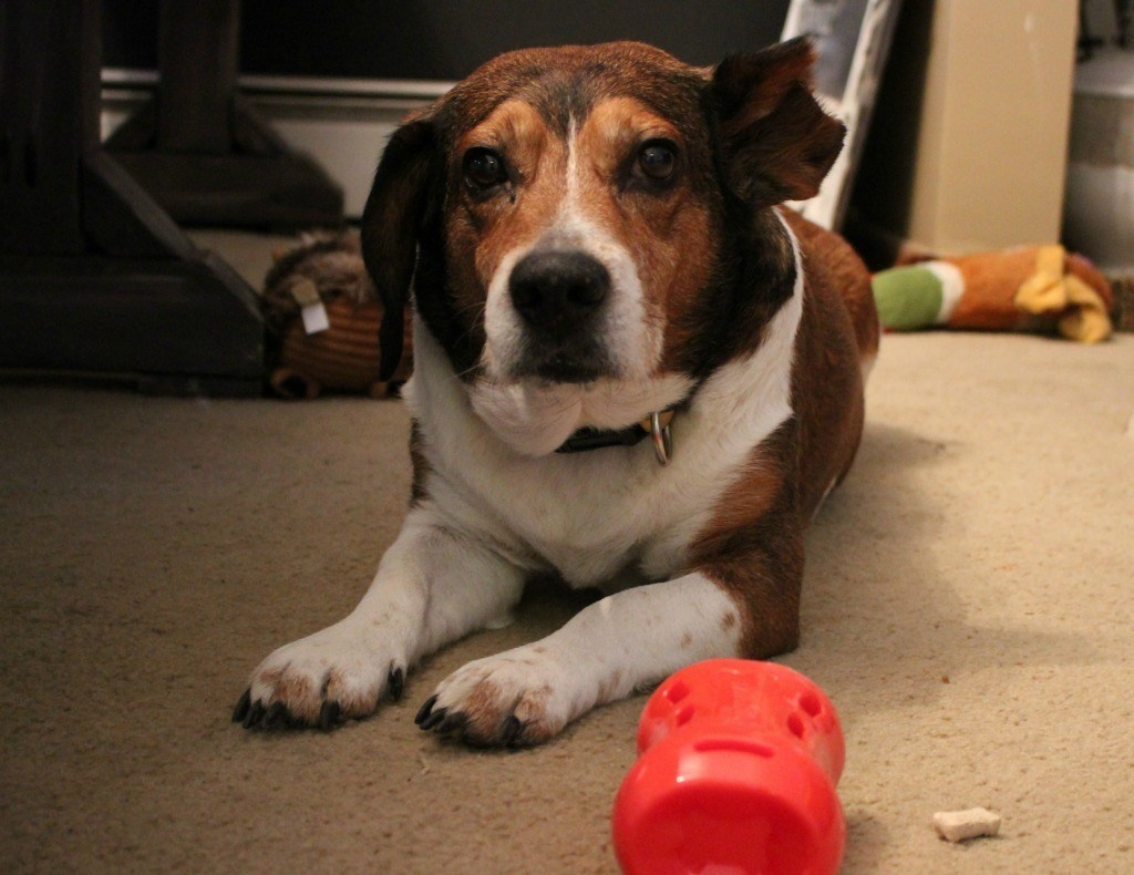 Vinnie with Milk-Bone Active Toy treat