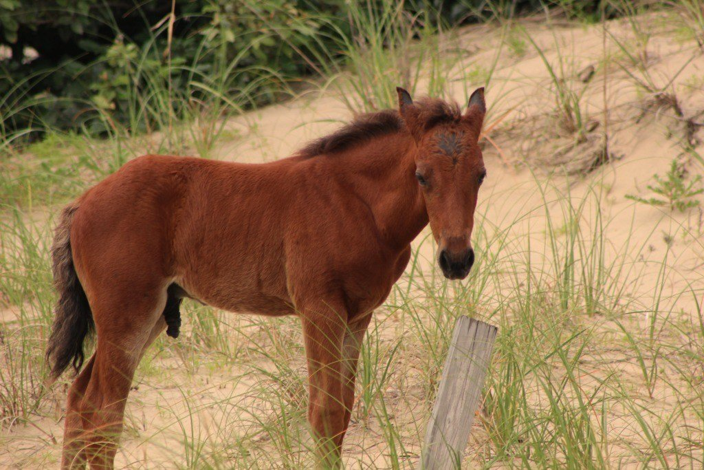 A foal born on Mother's Day in the Outer Banks
