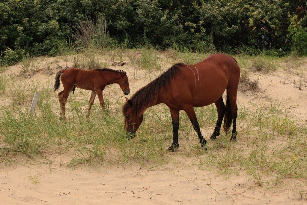 Take A Wild Horse Tour With Corolla Outback Adventures