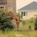 a horse lurking by homes in the outer banks