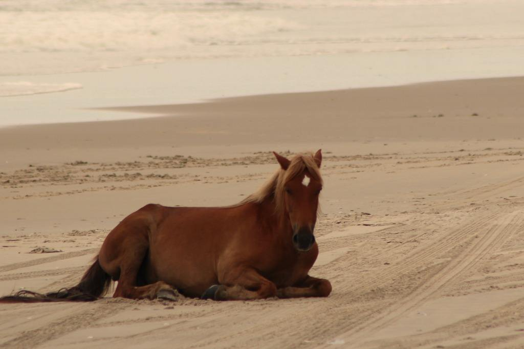 horse laying on the beach by the ocean