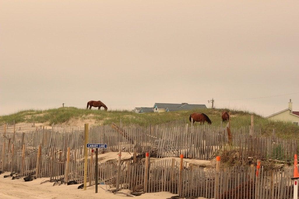 horses along Canary Lane