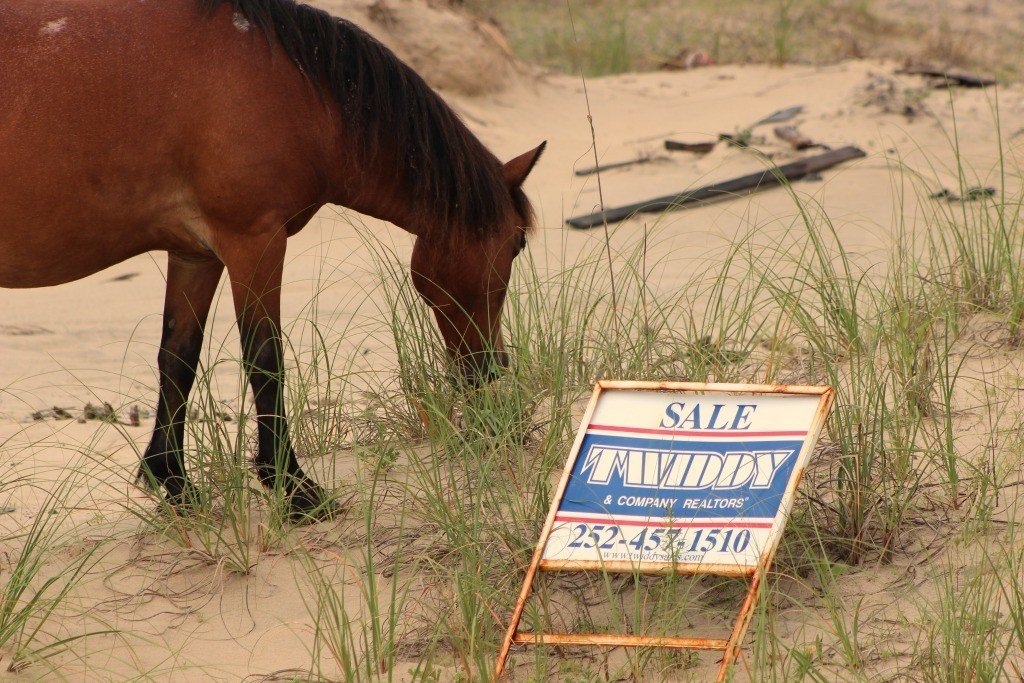 wild horse munching vegetaion near a for sale sign in the outer banks