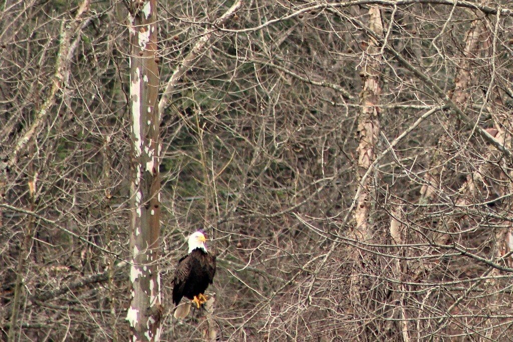 Bald Eagle along Yadkin River.