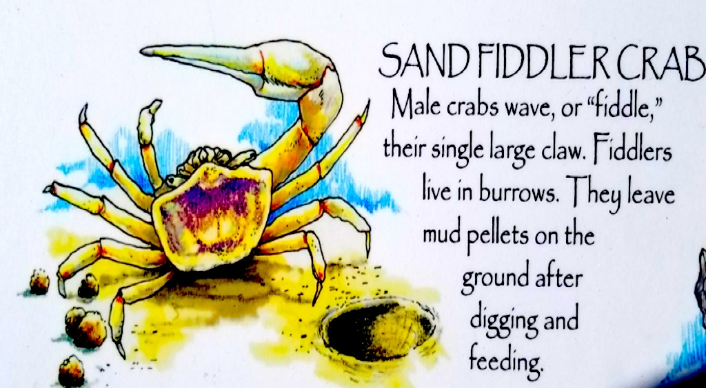 Fiddler Crab Infographic